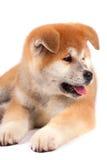 Perrito de Akita-inu Fotos de archivo libres de regalías