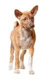 Perrito de Basenji Fotografía de archivo libre de regalías