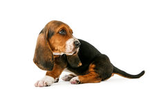 Perrito de Basset Hound que mira detrás Imagen de archivo