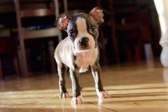 Perrito de Boston Terrier Imagen de archivo libre de regalías