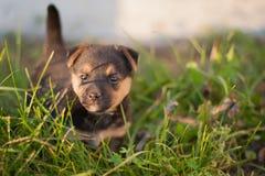 Perrito de Brown con una cola aumentada Imagen de archivo libre de regalías