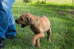 Perrito de Brown que pellizca en la pierna del hombre Imagen de archivo