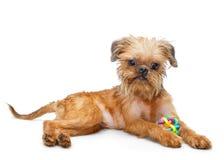Perrito de Bruselas Griffon con el juguete imagenes de archivo