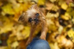 Perrito de Bruselas Griffon para un paseo foto de archivo