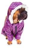 Perrito de Bullmastiff vestido Imágenes de archivo libres de regalías