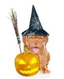 Perrito de Burdeos con el palillo, la calabaza y el sombrero de la escoba de brujas para Halloween Aislado en el fondo blanco Fotos de archivo