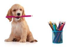 Perrito de cocker spaniel con el lápiz, aislado en blanco Pequeño perro, concepto educativo imagen de archivo libre de regalías