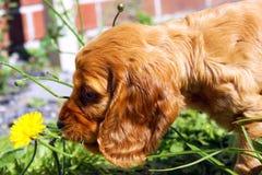 Perrito de cocker spaniel del inglés que juega con una flor foto de archivo libre de regalías