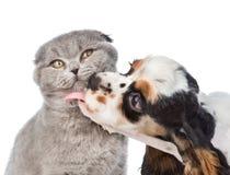 Perrito de cocker spaniel que lame el gato Aislado en el fondo blanco imagen de archivo libre de regalías