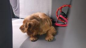 Perrito de cocker spaniel que pone en el asiento trasero del coche metrajes
