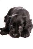 Perrito de colocación lindo del perro de aguas de cocker Imágenes de archivo libres de regalías