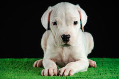 Perrito de Dogo Argentino imagenes de archivo