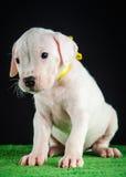 Perrito de Dogo Argentino imagen de archivo libre de regalías
