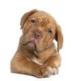 Perrito de Dogue de Bordeaux, 10 semanas de viejo, mintiendo Fotografía de archivo