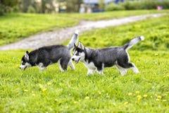 Perrito de dos perros esquimales en poala En el verano Imagen de archivo