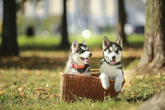 Perrito de dos perros esquimales en una cesta Foto de archivo libre de regalías