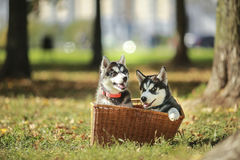 Perrito de dos perros esquimales en una cesta Fotografía de archivo libre de regalías