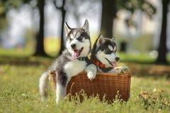 Perrito de dos perros esquimales en una cesta Imagen de archivo libre de regalías