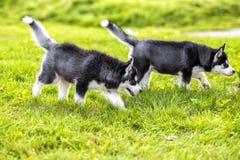 Perrito de dos perros esquimales para un paseo Fotos de archivo