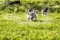 Perrito de dos perros esquimales que corre alrededor del prado imagen de archivo libre de regalías
