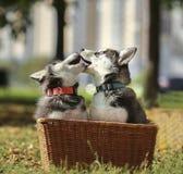 Perrito de dos perros esquimales que juega en la cesta Imagen de archivo