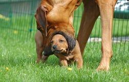 Perrito de enseñanza del perro femenino Imagen de archivo