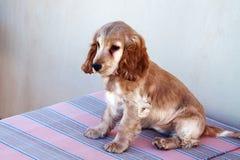 Perrito de Fawn Spaniel que se sienta en el sofá fotos de archivo