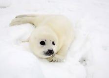 Perrito de foca de Groenlandia del bebé Fotos de archivo
