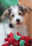 Perrito de Gato Russell imagen de archivo libre de regalías