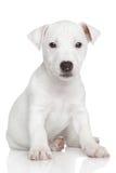 Perrito de Gato Russell fotografía de archivo libre de regalías