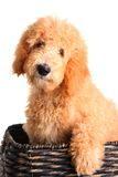 Perrito de Goldendoodle fotos de archivo libres de regalías