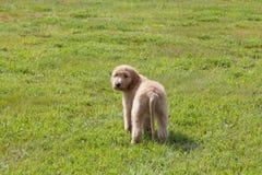 Perrito de Goldendoodle que mira sobre su hombro en campo herboso Fotografía de archivo