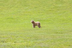 Perrito de Goldendoodle que se coloca en un campo herboso Fotos de archivo libres de regalías
