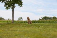 Perrito de Goldendoodle que se sienta en un campo de hierba Imágenes de archivo libres de regalías