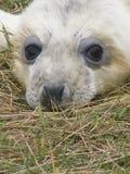 Perrito de Grey Seal en la playa en las dunas de arena llevadas recientemente fotografía de archivo
