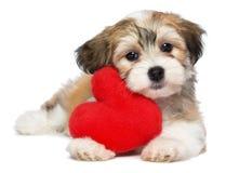 Perrito de Havanese de la tarjeta del día de San Valentín del amante Foto de archivo libre de regalías