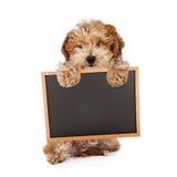 Perrito de Havanese que lleva a cabo la muestra en blanco del tablero de tiza Fotos de archivo libres de regalías