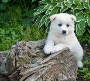 Perrito de Huskimo fotografía de archivo libre de regalías