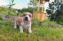 Perrito de Jack Russell Terrier Fotos de archivo