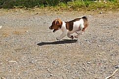 Perrito de Jack Russell Terrier Imágenes de archivo libres de regalías