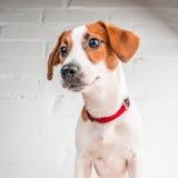 Perrito de Jack Russell Terrier en el cuello rojo que se coloca en una silla en un fondo blanco Imagen de archivo libre de regalías