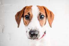 Perrito de Jack Russell Terrier en el cuello rojo que se coloca en una silla en un fondo blanco Foto de archivo