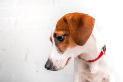 Perrito de Jack Russell Terrier en el cuello rojo que se coloca en una silla en un fondo blanco Fotos de archivo