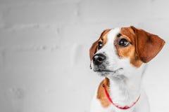 Perrito de Jack Russell Terrier en el cuello rojo que se coloca en una silla en un fondo blanco Foto de archivo libre de regalías
