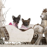 Perrito de la chihuahua, 12 semanas de viejo, chinos Crested Fotografía de archivo libre de regalías