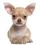 Perrito de la chihuahua, 2 meses, mintiendo Fotos de archivo