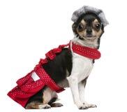 Perrito de la chihuahua, 3 años, vestidos para arriba Foto de archivo libre de regalías