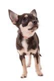 Perrito de la chihuahua Fotos de archivo libres de regalías