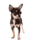 Perrito de la chihuahua Imagenes de archivo