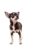 Perrito de la chihuahua Fotografía de archivo libre de regalías